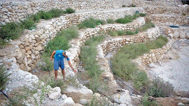Balsam plants are again being grown near the Dead Sea