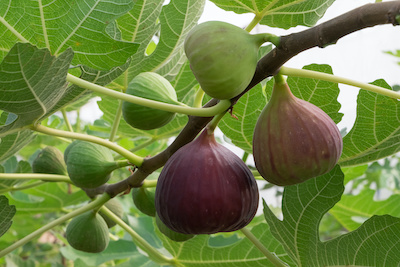 Even as winter approaches, the fig bears fruit
