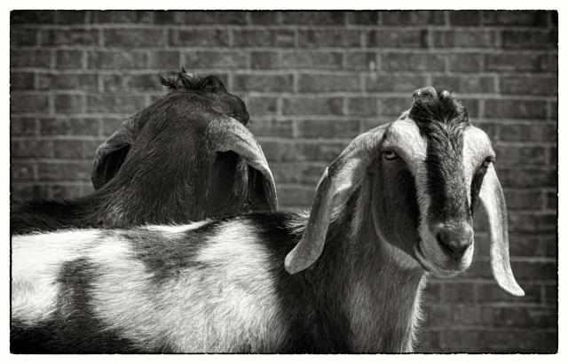 Be careful not to imply that some people or nations are goat-like