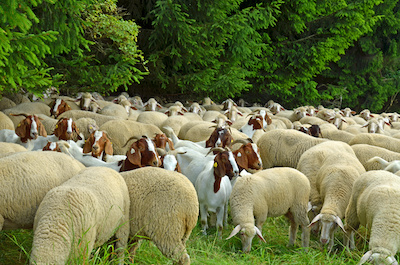 It is easy to tell the difference between sheep and goats